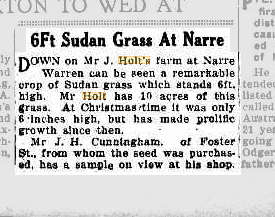 6ft Sudan grass