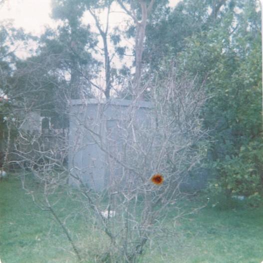 Lemon tree and shed